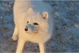 arctic fox wild republic