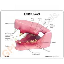Anatomy Of A Cat S Jaw Feline Model Teeth Gpi Anatomicals