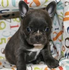 pets waterloo french bulldogs for re homing