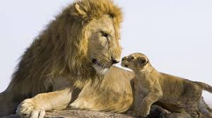 Wallpaper lion Big cats Animals