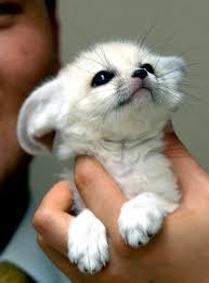 baby fennec fox. Fine Fennec Baby Fennec Fox  To