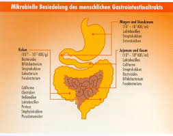 Dickdarm bakterien