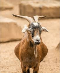 A Guide To Small Goat Breeds