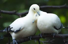 dove love bird couple cute