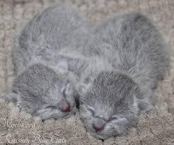 newborn gray kittens. Fine Gray Newborn  Intended Gray Kittens K