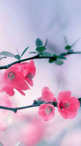 Cherry Blossom Flowers iPhone 6 ...