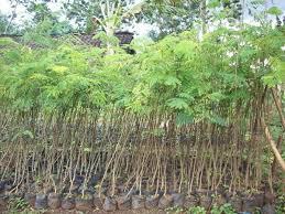 Bagaimana Cara Mengetahui Ciri Bibit dan Pohon Sengon Solomon Saat ...