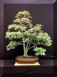 Cherry Bonsai Tree For Sale Uk