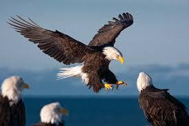 Bald Eagle Size Habitat Diet Facts Britannica