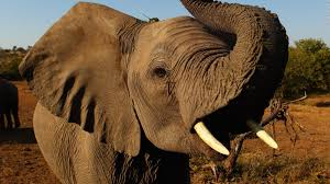 A Third Of Africas Elephants Wiped Out In 7 Years