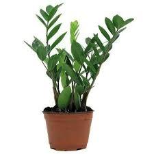 house plants. ZZ House Plants P