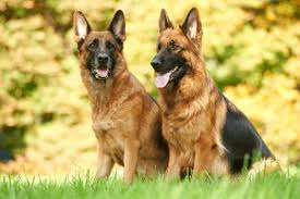 German Shepherds Weight And Height The Complete Guide And