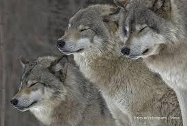"Wolf Zen"" - Timber Wolves (Explored) | Wolf dog, Timber wolf, Wolf world"