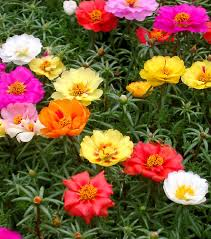 this pretty little plant with needle like foliage and tiny colorful flowers looks absolutely stunning it is an annual or perennial in warm tropical and