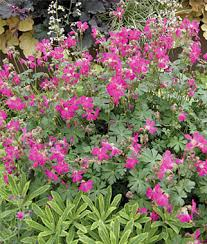 learn about geraniums