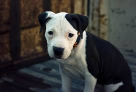 white and black pitbull puppies.  Pitbull Blue Nose Pitbull Puppy Photo For White And Black Pitbull Puppies