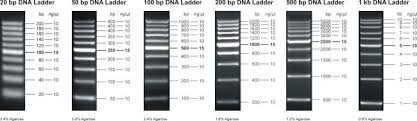 bp log log scale dna ladders jena bioscience