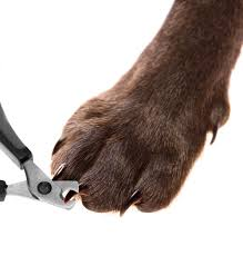 dog pedicure some pet owners find t their pet s nails