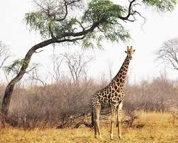 Wiesz to o... żyrafie? - Victor Junior