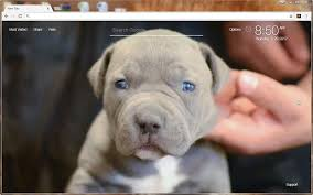 pitbull puppy wallpaper hd. Interesting Pitbull Pitbull Wallpaper HD Dogs New Tab Themes And Puppy Hd P