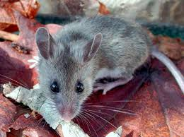Common Household Mouse