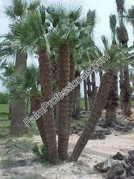 fan palm trees. buy mediterranean fan palm trees in houston texas - cold tolerant resistant palms