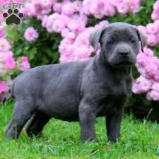 a cane corso puppy named lollipop