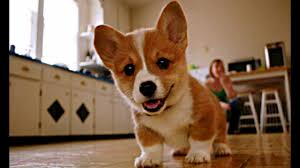 corgi puppy playing. Beautiful Puppy Baby Corgi Puppies Who Are Too Cute To Be Real On Puppy Playing M