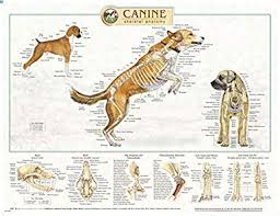 Canine Muscle Chart Canine Anatomy Complete Set Of 3 Charts Buy The Set And Save