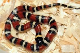 milk snake size kingsnakes milk snakes and other reptiles available from kingsnake com