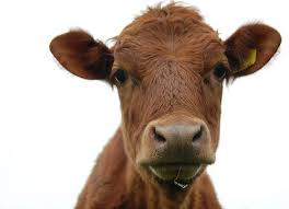 brown cow face. Modren Face Cow Face  Displaying 20 Gallery Images For Brown Cow Face Intended Face Pinterest
