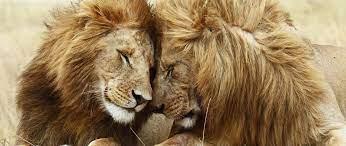 2560x1080 lion, cat, couple 2560x1080 ...