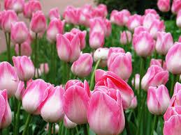 photo essay keukenhof the world s largest flower garden pink
