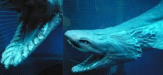 cute baby great white shark. Unique Cute Weird Shark Species Frilled To Cute Baby Great White Shark S