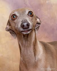 Small Picture The Italian Greyhound One More Dog with an Ancient History