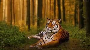 Tiger Hd Wallpaper - Tiger Hd ...