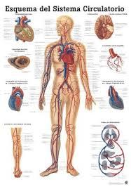 Amazon Com The Human Vascular System Laminated Anatomy