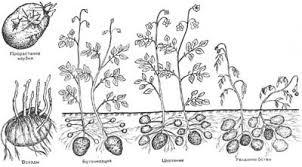 Курсовая работа возделывание картофеля сорта Раменский в  2 1 Особенности роста и развития