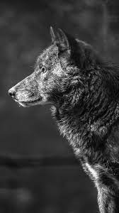 Wolf Monochrome Picture Wallpaper 4K #4 ...