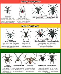 Free Spider Identification Chart Spider Identification Sydney Pest Busters Sydney 1300