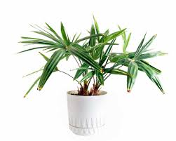 4. Dwarf Date Palm