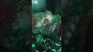 Asian woman shits out octopus