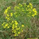 Images & Illustrations of broom-weed