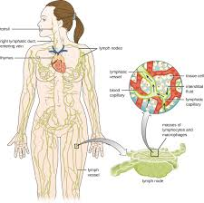 Lymph Flow Chart Anatomy Of The Circulatory And Lymphatic Systems Microbiology