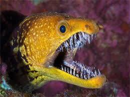 Killer zebras, maple valley, washington. Moray Eels Crazy Facts About The Moray Eel Marine Life Guide