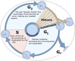 Cell Cycle Pie Chart Cell Cycle And Cell Division Assignment Help Mitosis Cell