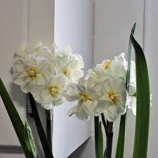Paper White Flower Bulb Forcing Paperwhites How To Force Paperwhite Narcissus Bulbs