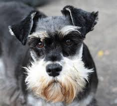 The Three Varieties Of Schnauzers And More About This Dog