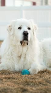 Great Pyrenees Myth Or Fact Its Dog Or Nothing