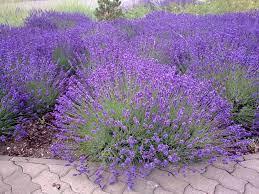 รูปภาพ : ปลูก, ดอกไม้, สีม่วง, สมุนไพร, ไม้พุ่ม, อารมณ์, พืชดอก,  โรงงานประจำปี, โรงงานที่ดิน, ภาษาอังกฤษลาเวนเดอร์, โหระพา,  ดอกลาเวนเดอร์ฝรั่งเศส 2048x1536 - - 1096614 - ภาพ สวย ๆ - PxHere
